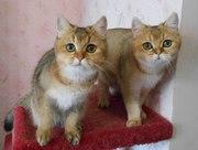 Две британские кошечки золотого окраса