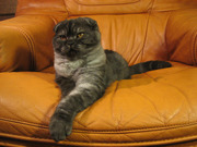 Шотландские  котята от Меллер