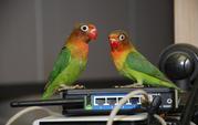 Продам попугая неразлучника Фишера