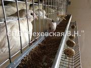 Перепела (взрослые птицы,  несушки) породы Белый Техасский
