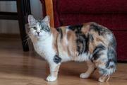Прекрасная трехцветная кошка Таис – к счастью в Доме. Отдам.