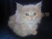 продам котят 1, 5 месяца