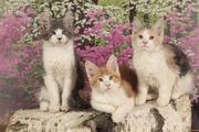 Котята мейн кун ждут новых хозяев