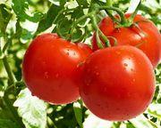 помидоры,  баклажаны,  перец