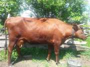 Коровье домашнее молоко