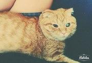 Вислоухий Рыжий кот