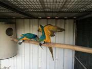 В продаже ручные и окольцованные Сине-жёлтые ары