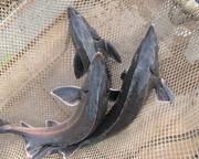 Живая осетровая рыба