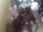 Котята от кошки-мышеловки