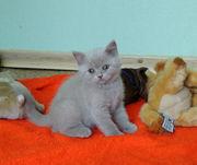 Британский котенок. Девочка лилового окраса