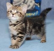 Британский котенок (девочка) окраса черный мрамор