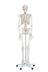 Классическая модель скелета на 4-ти роликовой подставке