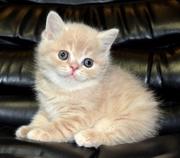 Шотландский котик Кенни