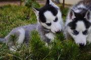 Сибирский хаски щенки КСУ-FCI.