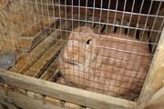 Купить кролика в Броварах 0677494679. Кролики Бровары