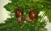 Продам красивую пару малышей улитки Ахатина фулика