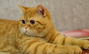 Рыжий шотландский котик Кексик