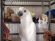 В продаже ручные и окольцованные птенцы  Желтохохлого какаду