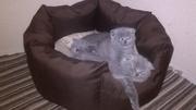 Шотландские котята вислоухие (девочки)