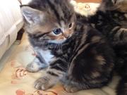 Очаровательные шотландские мраморные котята.