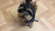 Очаровательный щенок йоркширского терьера ищет дом