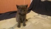 Продам котят русской голубой
