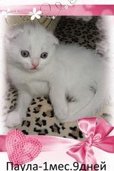 Вислоухая белая кошечка