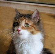 Котенок сибирской кошки Миледи настоящее счастье в дом!