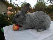 Самцы и самки серебристых кроликов (круглогодично)