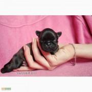 Маленькие собачки – гриффоны