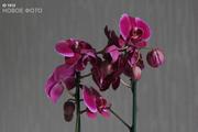 Орхидея фаленопсис - распродажа