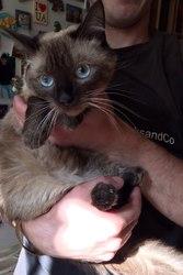 Роскошная кошка сиамской породы