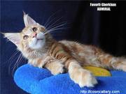 Котята Мейн Кун от Чемпиона Мира