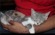 В добрые руки подарю котенок девочка,  около 3, 5 месяцев,  трехцветная
