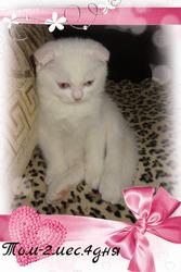 белый вислоухий котик с голубыми глазками