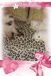 Вислоухие котята разных окрасов