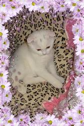 Вислоухие котята белых окрасов