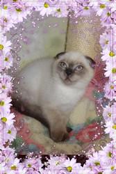 вислоухий колорный котик