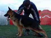 Немецкая овчарка. Высоко-породные щенки