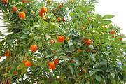 Продам мандариновый бизнес в Абхазии