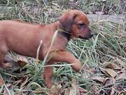 Предлагаем замечательных щенков родезийского риджбека
