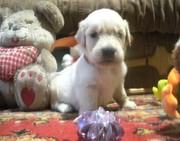Голден ретривера великолепные щенки