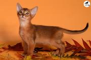 Абиссинские котята Sandy Lion