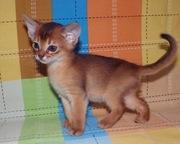 Абиссинские котята из питомника ROYAL JOY