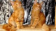 Мейн кун котёнок красный мрамор
