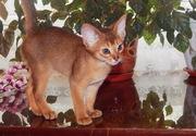 Абиссинский котенок (девочка). Цена снижена.