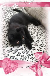Вислоухий котик- черный шоколад с документами