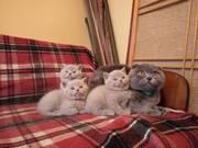 Продам шотландских котят(скоттиш-страйт)