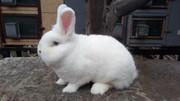 Продам кроликов породы Венский Белый