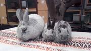 Продам кроликов породы БСС (европейское серебро)